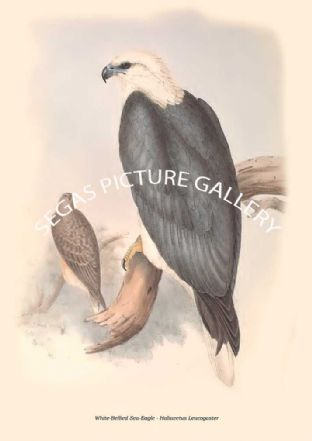 White-Bellied Sea-Eagle - Haliaeetus Leucogaster